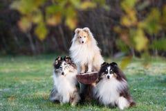 Trois chiens de sheltie dehors en automne Image stock