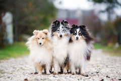 Trois chiens de sheltie dehors en automne Photo stock