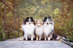 Trois chiens de sheltie dehors en automne Image libre de droits