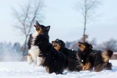 Trois chiens ont l'amusement dans la neige Photographie stock libre de droits