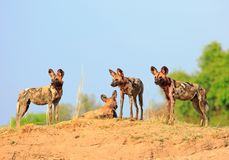 Trois chiens sauvages avec un ciel bleu vibrant et un fond vert de buisson se tenant regardants l'alerte, parc national de luangw photos libres de droits
