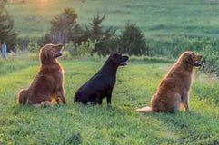 Trois chiens se reposant dans une rangée photos stock