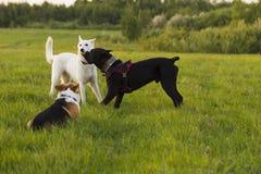 Trois chiens sur une promenade Image libre de droits
