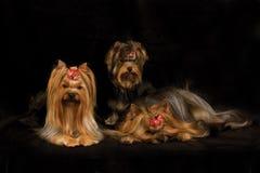 Trois chiens terriers de Yorkshire image libre de droits