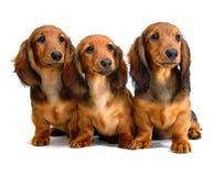 Trois chiots à cheveux longs de dachshund Photographie stock libre de droits