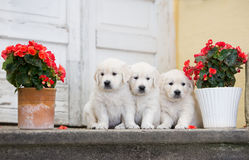 Trois chiots adorables de golden retriever Photographie stock
