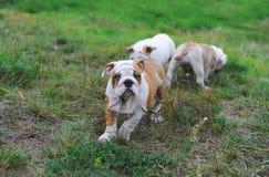 Trois chiots anglais de bouledogue jouant sur la pelouse Image libre de droits