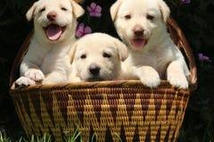 Trois chiots blancs mignons dans le panier tissé Photos libres de droits