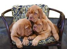 Trois chiots dans le fauteuil. Image libre de droits