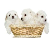 Trois chiots dans un panier. Image stock