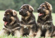 Trois chiots de berger allemand Photos stock