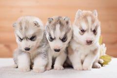 Trois chiots de chien de traîneau sibérien Images stock