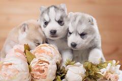 Trois chiots de chien de traîneau sibérien Photographie stock libre de droits