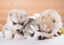 Trois chiots de chien de traîneau sibérien Image stock