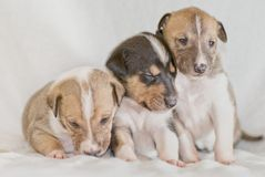 Trois chiots de colley photo libre de droits