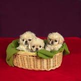 Trois chiots de pekinese Photos stock