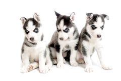 Trois chiots de race de chien de traîneau sibérien Photos libres de droits