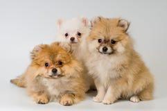 Trois chiots de race un spitz-crabot de Pomeranian Image libre de droits