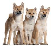 Trois chiots de Shiba Inu, 6 mois Photo stock
