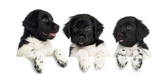 Trois chiots de Stabyhoun, haletant et se penchant sur un conseil blanc Images stock