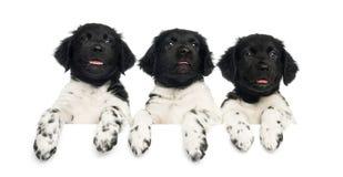 Trois chiots de Stabyhoun se penchant sur un conseil blanc, Photographie stock libre de droits