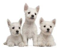 Trois chiots des montagnes occidentaux de chien terrier Image stock