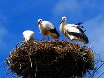 Trois cigognes dans le nid sur le fond de ciel bleu en Pologne Images stock