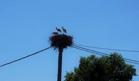 Trois cigognes dans un nid avec le câble électrique et l'arbre Photo libre de droits