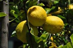 Trois citrons Photographie stock libre de droits