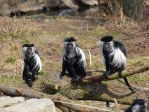 Trois colobuses de l'Angola sur le tronc d'arbre Images libres de droits