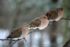 Trois colombes de deuil Photo stock
