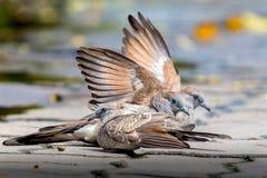 Trois colombes sur le plancher de ciment Deux oiseaux ont répandu leurs ailes ensemble Un autre oiseau se repose Image libre de droits