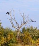 Trois corbeaux Images libres de droits