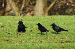 Trois corbeaux sur l'herbe verte Image stock