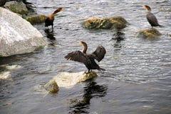Trois cormorans se reposent sur des roches en mer Photo libre de droits