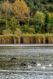 Trois cormorans volent par l'eau sur le lac Massaciuccoli, Toscane, Italie image libre de droits