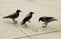 Trois corneilles sur l'asphalte gris Photographie stock libre de droits