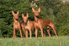 Trois crabots debout - chien de pharaon photos libres de droits