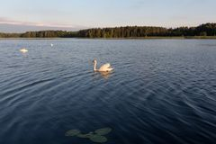 Trois cygnes blancs dans un lac sur le coucher du soleil Photo stock
