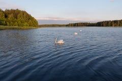 Trois cygnes blancs dans un lac sur le coucher du soleil Photographie stock