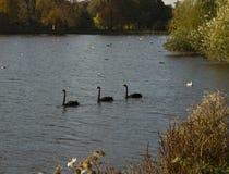 Trois cygnes noirs de natation dans une ligne Images libres de droits