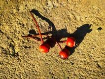 Trois cynorrhodons secs rouges sur le béton images libres de droits