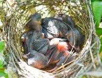 Trois d'oiseaux de bébé dorment dans le nid images stock
