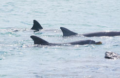 Trois dauphins de bottlenose nageant dans la formation serrée Photographie stock