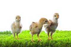 Trois de peu de poussin jaune d'enfant se tenant sur le vert artificiel GR Image libre de droits