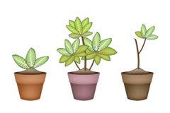 Trois Dieffenbachia Picta Marianne Plant dans des pots en céramique Photo stock