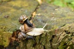 Trois escargots Photo stock