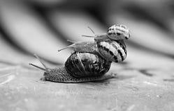 Trois escargots Photographie stock