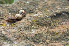 Trois escargots rayés sur une roche Photos stock
