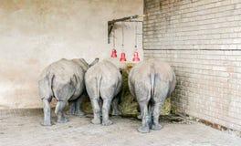 Trois extrémités arrières de jeune rhinocéros trois lumières rouges Images stock